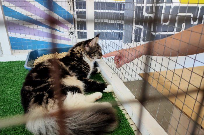 Фестиваль кошек породы мейн-кун в Петербурге