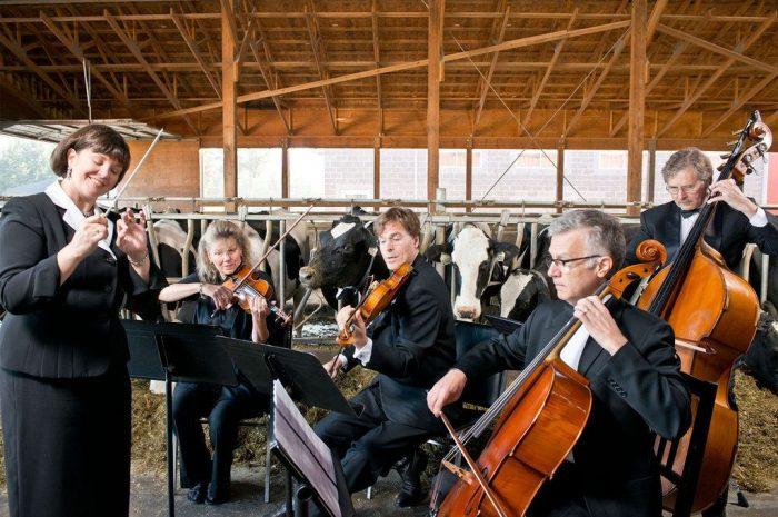 Коровы релаксируют под звуки виолончели