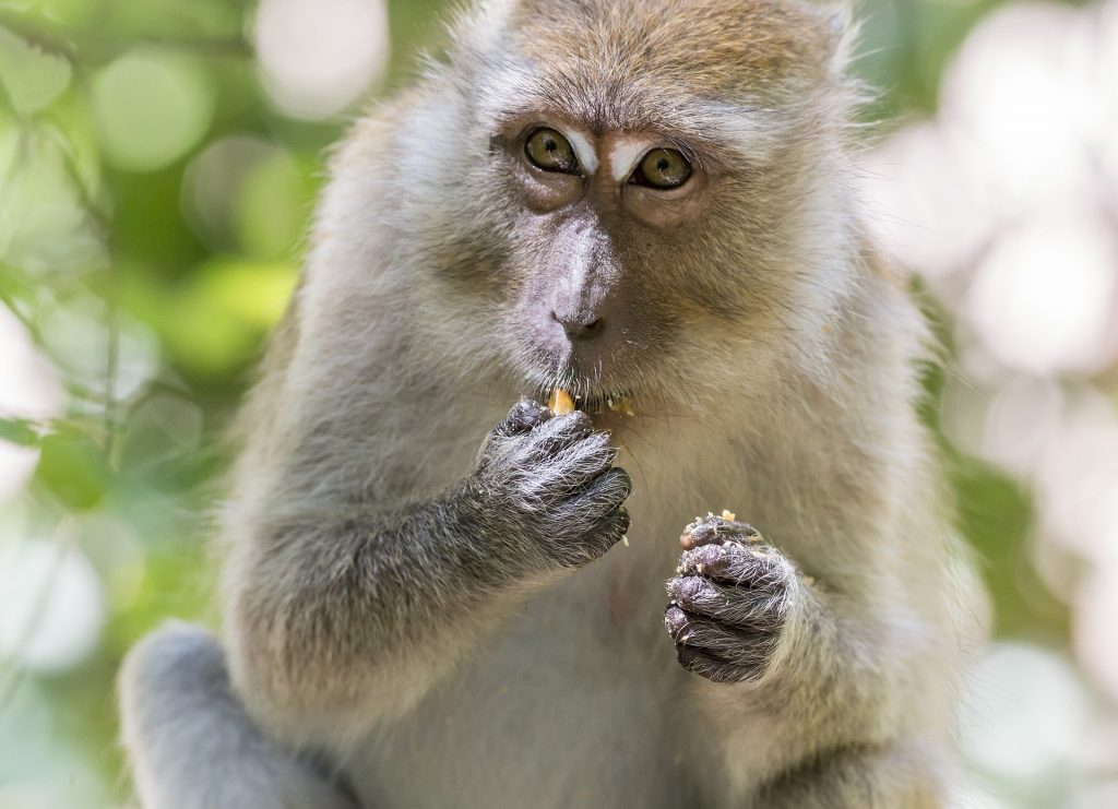 Для эксперимента по введению стволовых клеток человека в эмбрион обезьяны выбрали макака-крабоеда. Фото: Erik Karits