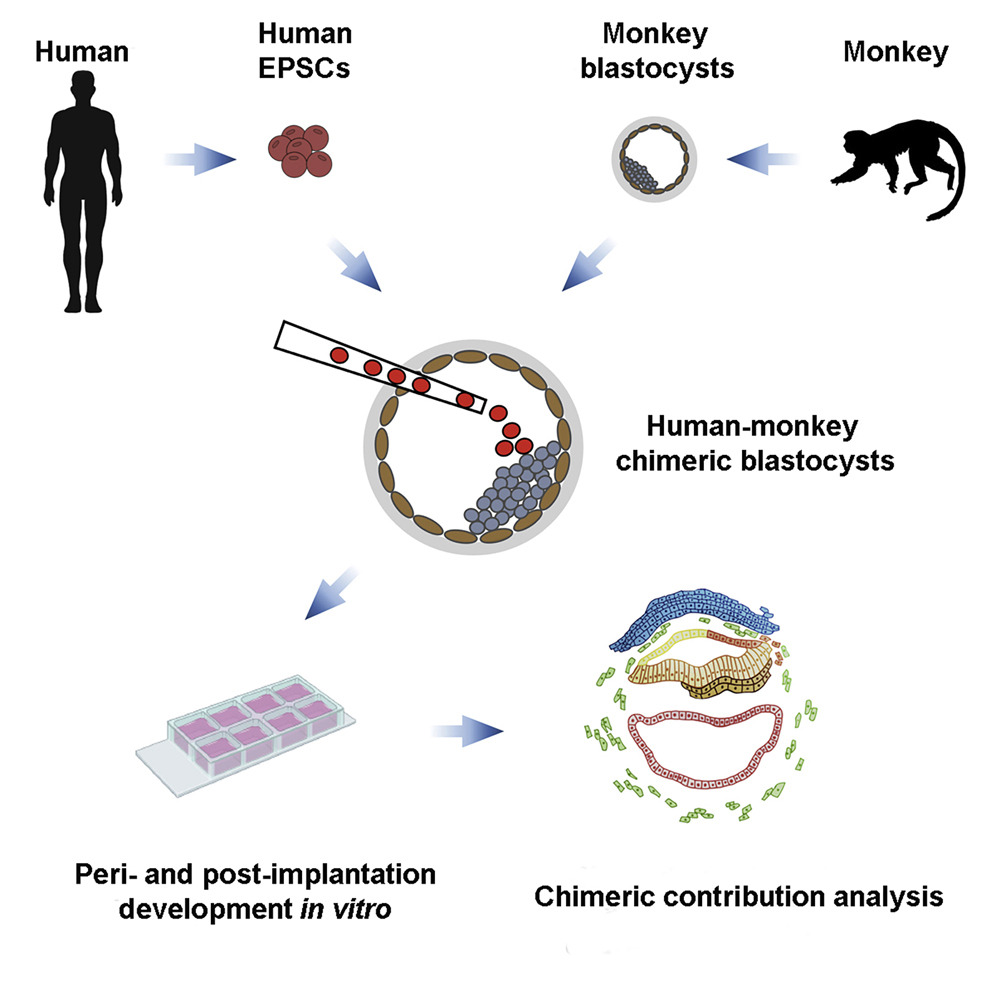 Алгоритм создания химеры из клеток человека и обезьяны. Схема группы исследователей. Журнал Cell